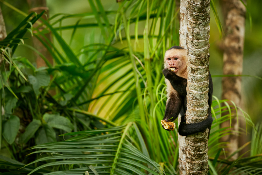 White-headed capuchin monkey, Costa Rica. Top Holiday Destinations for 2019