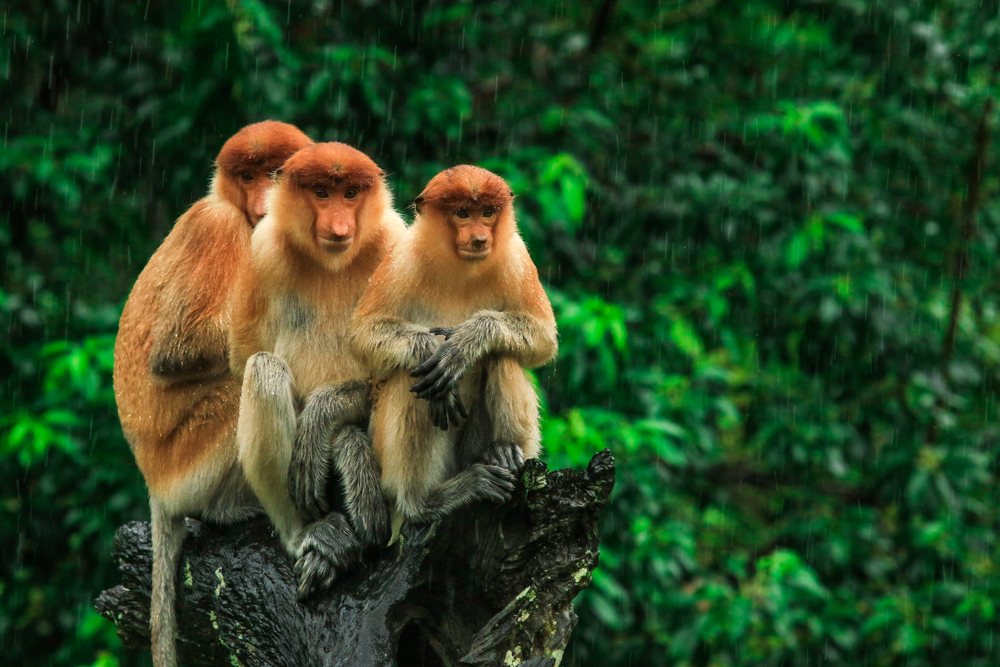 Labuk Bay Monkey Sanctuary | Borneo Group Tour | Howard Travel