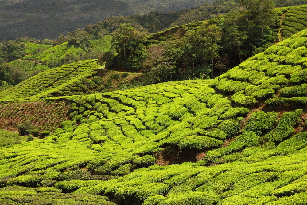 tea plantation shutterstock 241790404